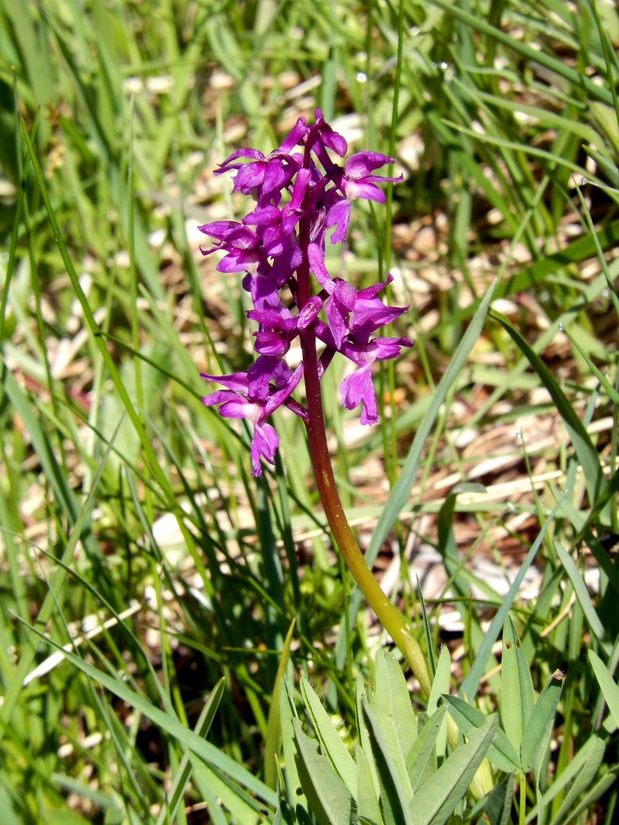 Orchis moucheron -  Gymnadenia conopsea - Orchid